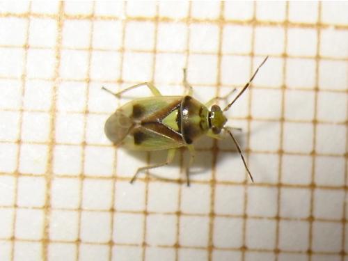 Miridae du plant de fenouil (Orthops sp.) Img_7377.jpg