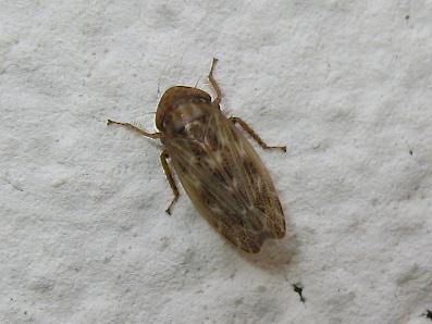 Euscelis ID Img_7459.jpg