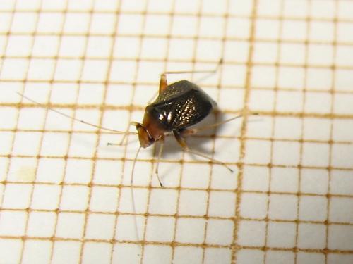 Un minus chez les Miridae (Halticus luteicollis) Img_7523.jpg