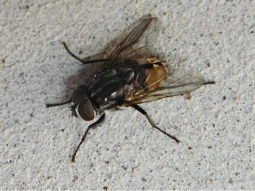 Mouche commune ID (Musca automnalis) Img_8301.jpg