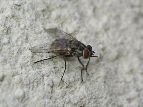 La mouche qui pique Img_8625.jpg