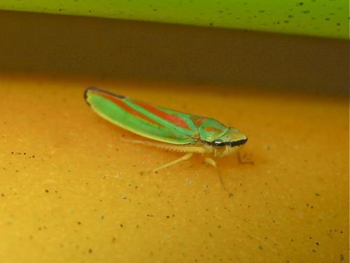 Graphocephala fennahi Img_8690.jpg
