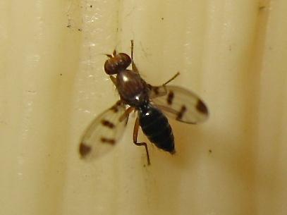 Petite mouche à ailes tachetées (Geomyza tripunctata) Img_8710.jpg