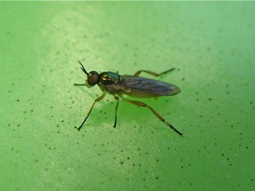 Thorax vert (Chorisops cf. tibialis, Sargus sp.) Img_8834.jpg