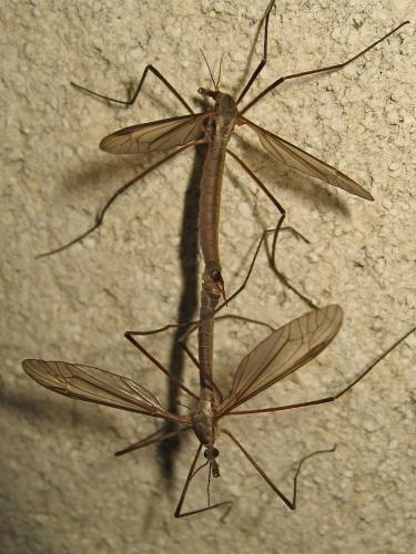 Tipula in copula Img_8911.jpgr