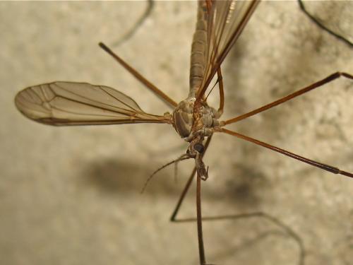 Tipula in copula Img_8914.jpg