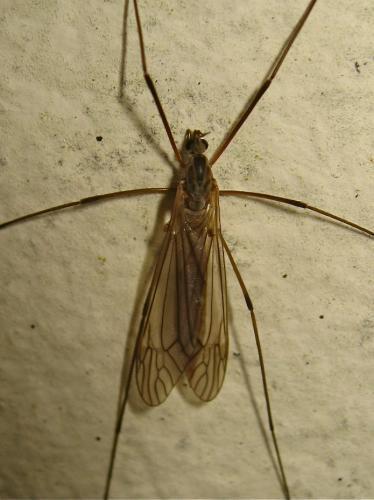 Wanted ! (Tipula cf. holoptera) Img_9783.jpg