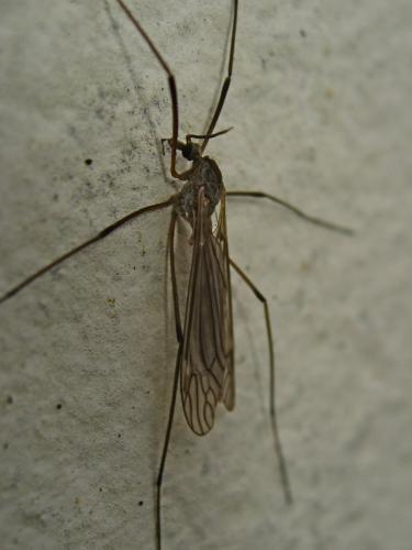 Wanted ! (Tipula cf. holoptera) Img_9784.jpg