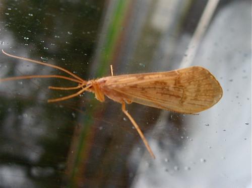 Trichoptère Halesus sp. Img_9792.jpg