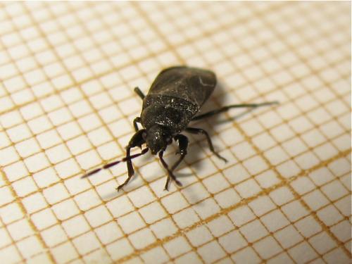 Punaise noire à deux épines (Megalonotus dilatatus) Img_9904.jpg