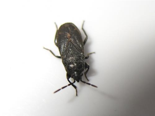 Punaise noire à deux épines (Megalonotus dilatatus) Img_9922.jpg
