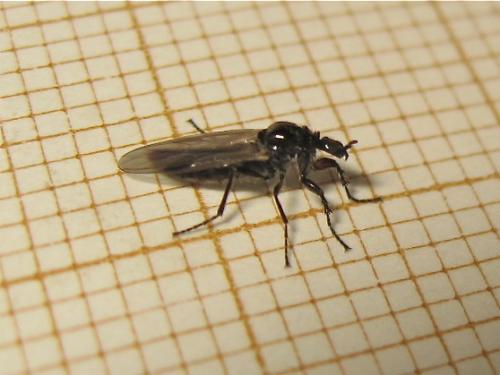 Bibionidae Dilophus (Dilophus humeralis) Img_0253.jpg