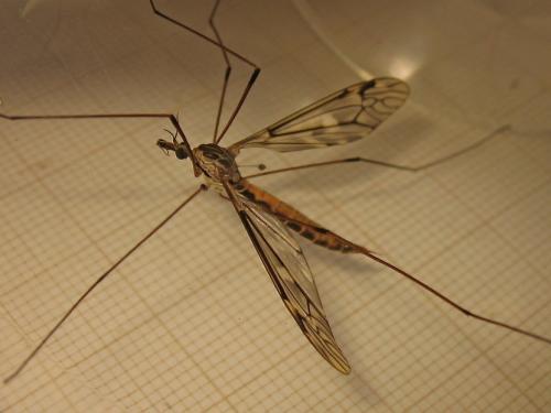 Tipula rufina Img_0275.jpg