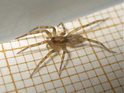 Pas une Lycosidae comme je l'ai cru au début Img_0288.jpg
