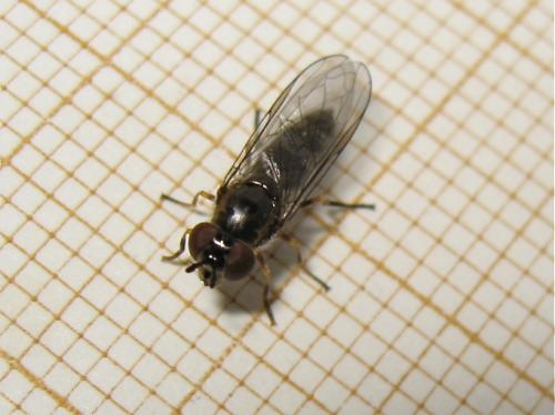 Syrphe à taches grises (Platycheirus sp.) Img_0844.jpg