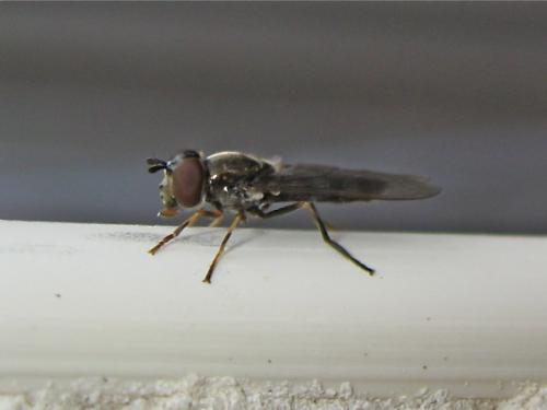 Syrphe à taches grises (Platycheirus sp.) Img_0884.jpg