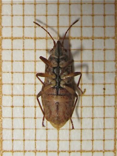 [Orsillus depressus] Brune Img_0901.jpg