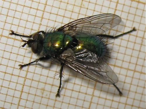 Mouche verte hirsute (Gymnocheta viridis) Img_1003.jpg