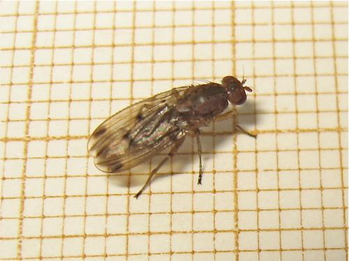 Heleomyzidae Img_1989.jpg