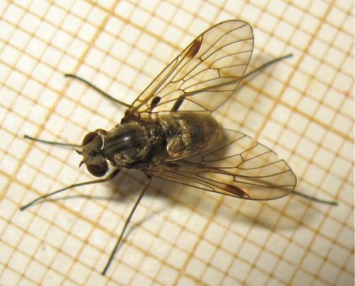 Rhagionidae à crête Img_2731.jpg