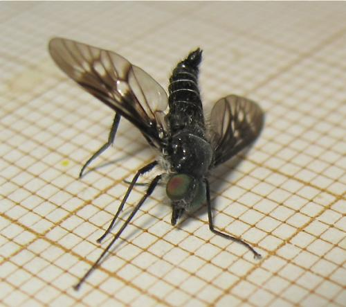 Une mouche d'une famille peu nombreuse Img_3312.jpg