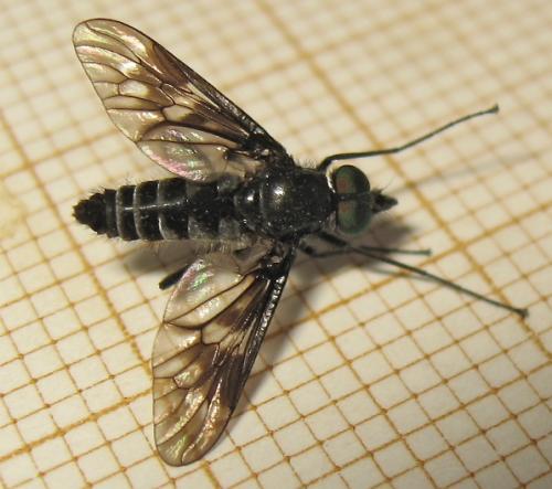 Une mouche d'une famille peu nombreuse Img_3313.jpg