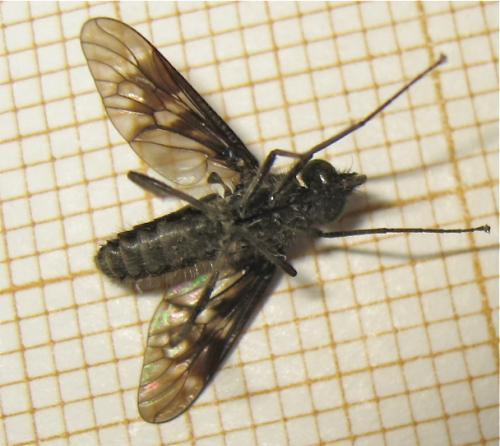 Une mouche d'une famille peu nombreuse Img_3316.jpg