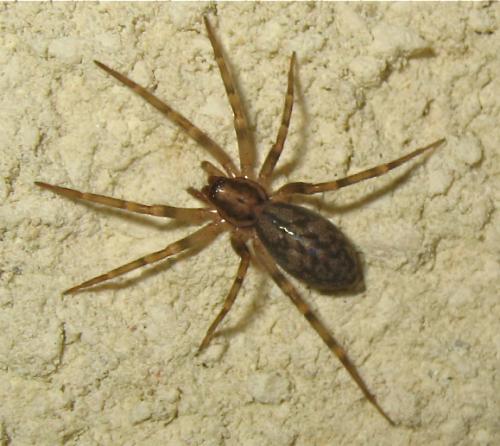 Pas une Lycosidae comme je l'ai cru au début Img_4702.jpg