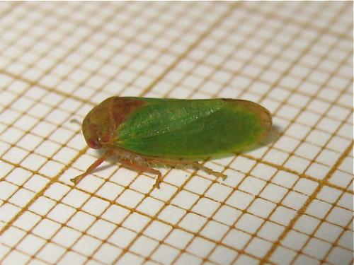 [Iassus lanio] Cicadelle verte du chêne Img_6037.jpg