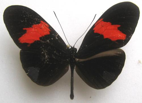 Quelques beaux papillons de Guyane Heliconiidae_9