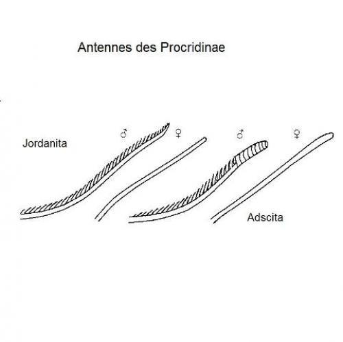 Détermination des zygènes de Bretagne Antennes_3d