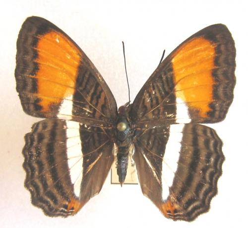 Quelques beaux papillons de Guyane Papillon