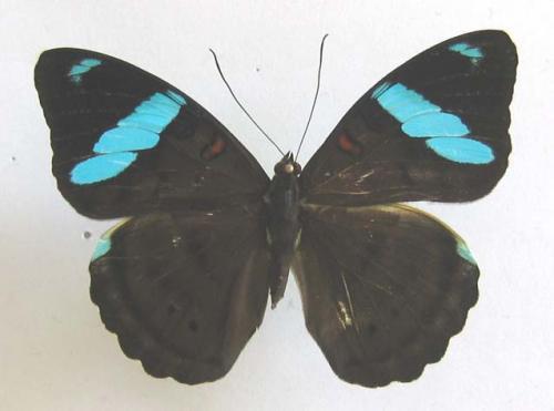Quelques beaux papillons de Guyane Lepido_3