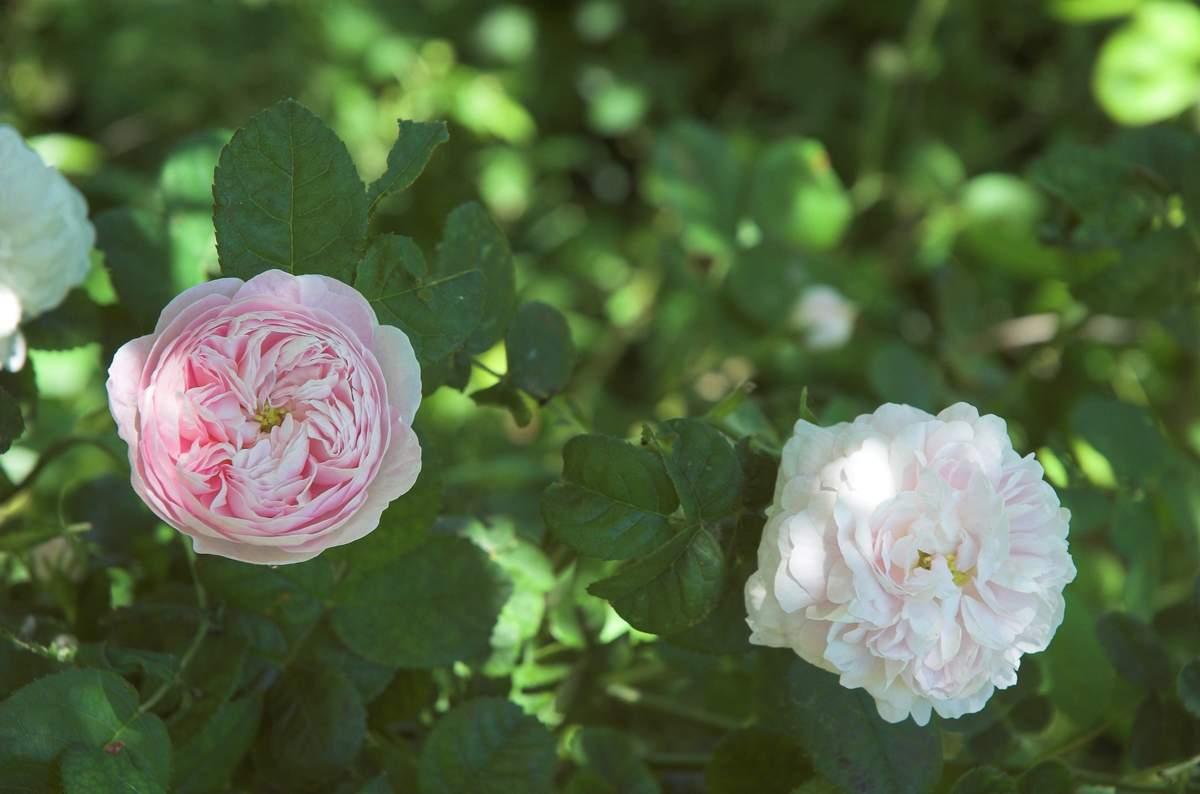 Duchesse de Montebello (Laffay - 1824) Gallica%20%27Duchesse%20de%20montebello%27%202