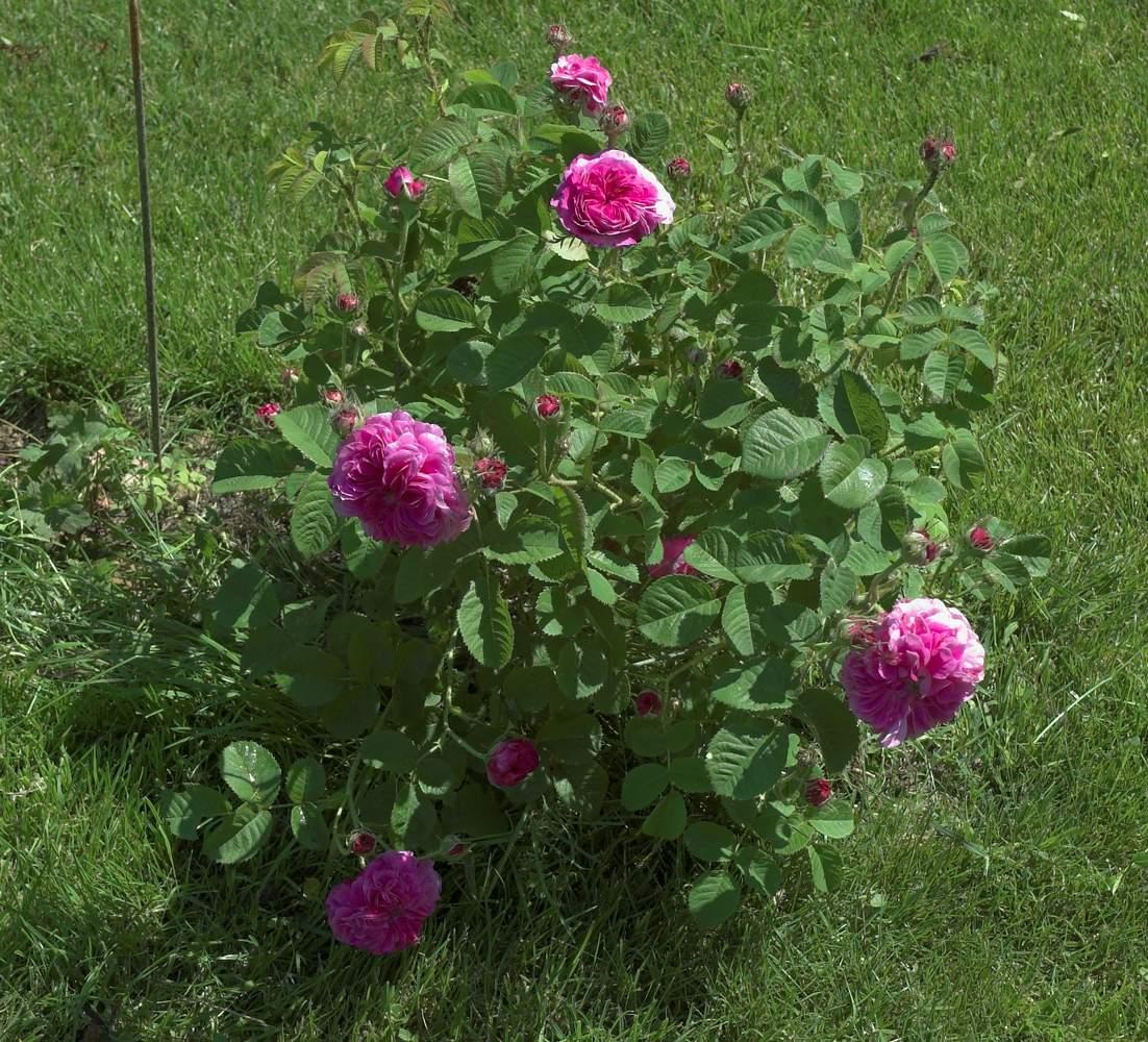 Rose des peintres - Rosa x centifolia major (Origine inconnue - 1587) Centifolia%20prolifera%202011