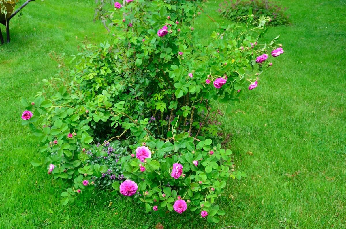 Centifolia Prolifera - Avant 1759 Centifolia%20prolifera%202015