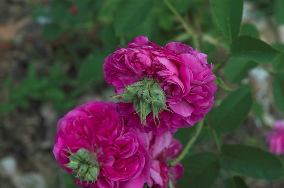 Rose des peintres - Rosa x centifolia major (Origine inconnue - 1587) Centifolia%20prolifera%209991