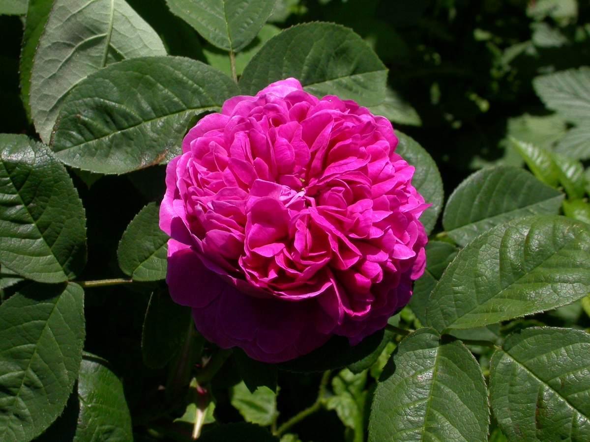 Rose de Rescht (France - vers 1800) - Page 2 Damascena%20%27Rescht%27%202