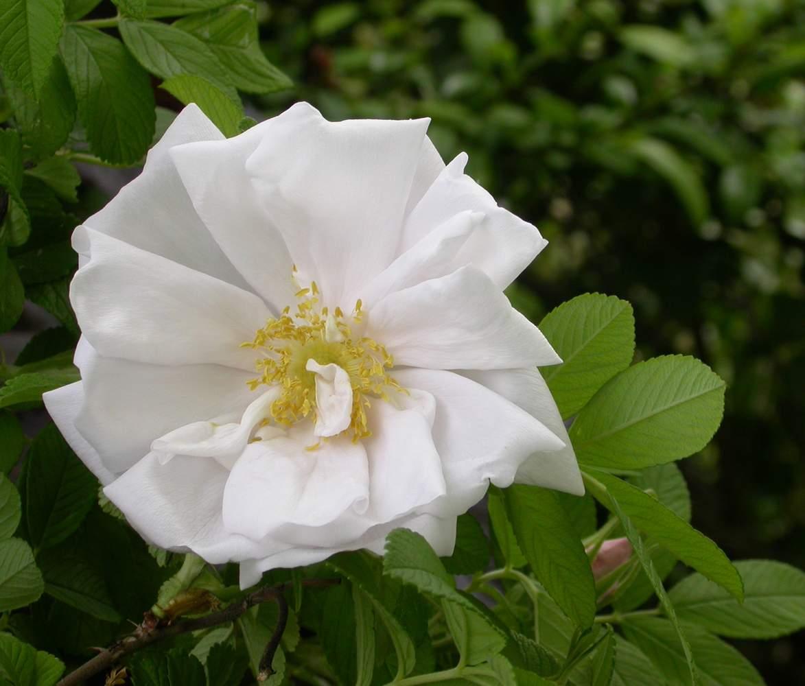 White Perfection (Karl Baum 1990) Rugosa%20%27White%20Perfection%27%203