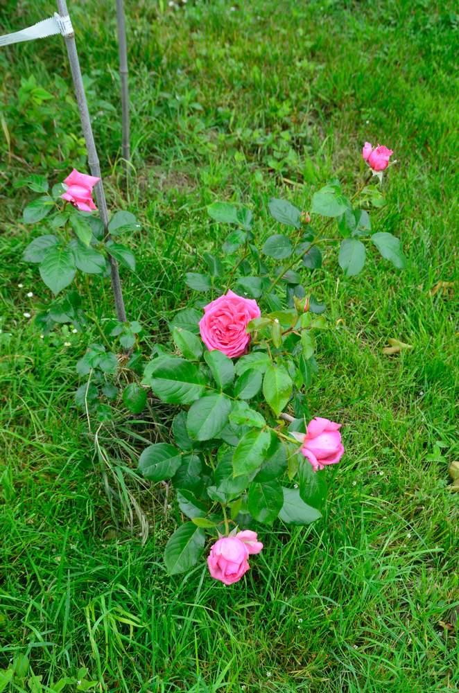 Rose de Molinard (Delbard - 2007) - Page 2 Rose%20de%20Molinart%202018%2005