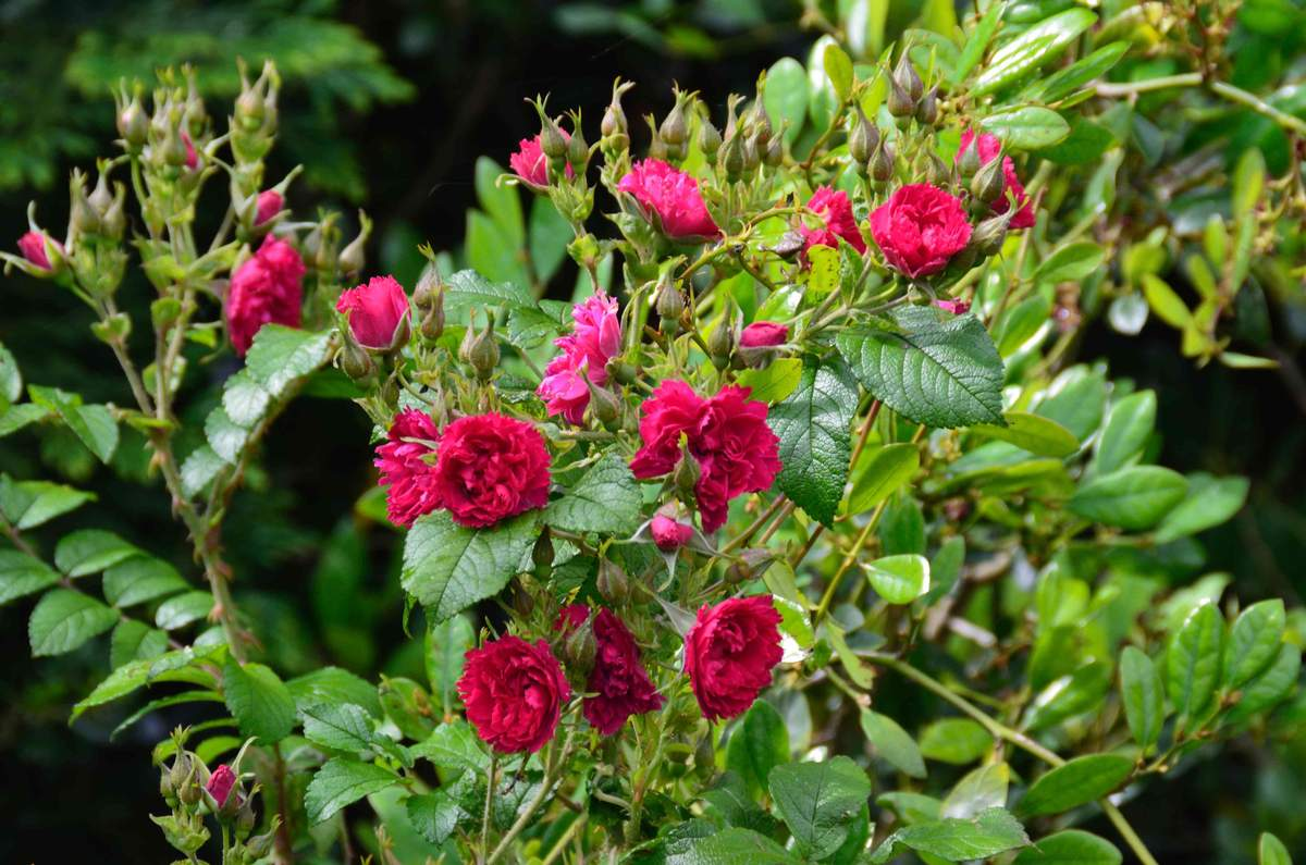 Les Grootendorst - Page 6 Rugosa%20%27Grootendorst%20Red%27%209991