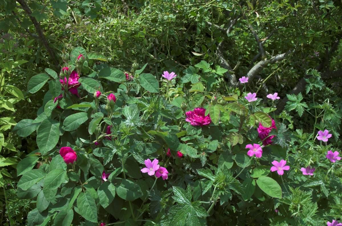 Rose de Rescht (France - vers 1800) Avec%20geranium