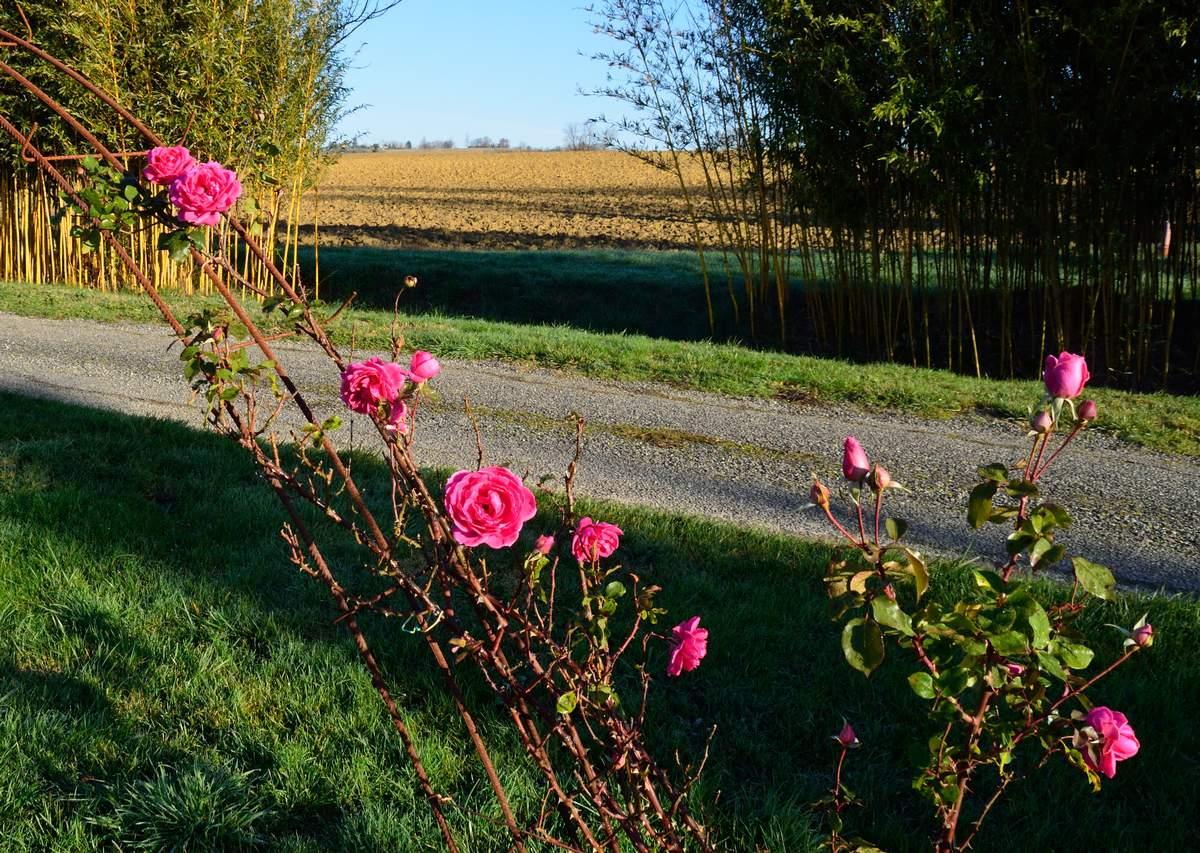 Pink Cloud (Boerner - 1952) - Page 2 Pink%20Cloud%202019%2012