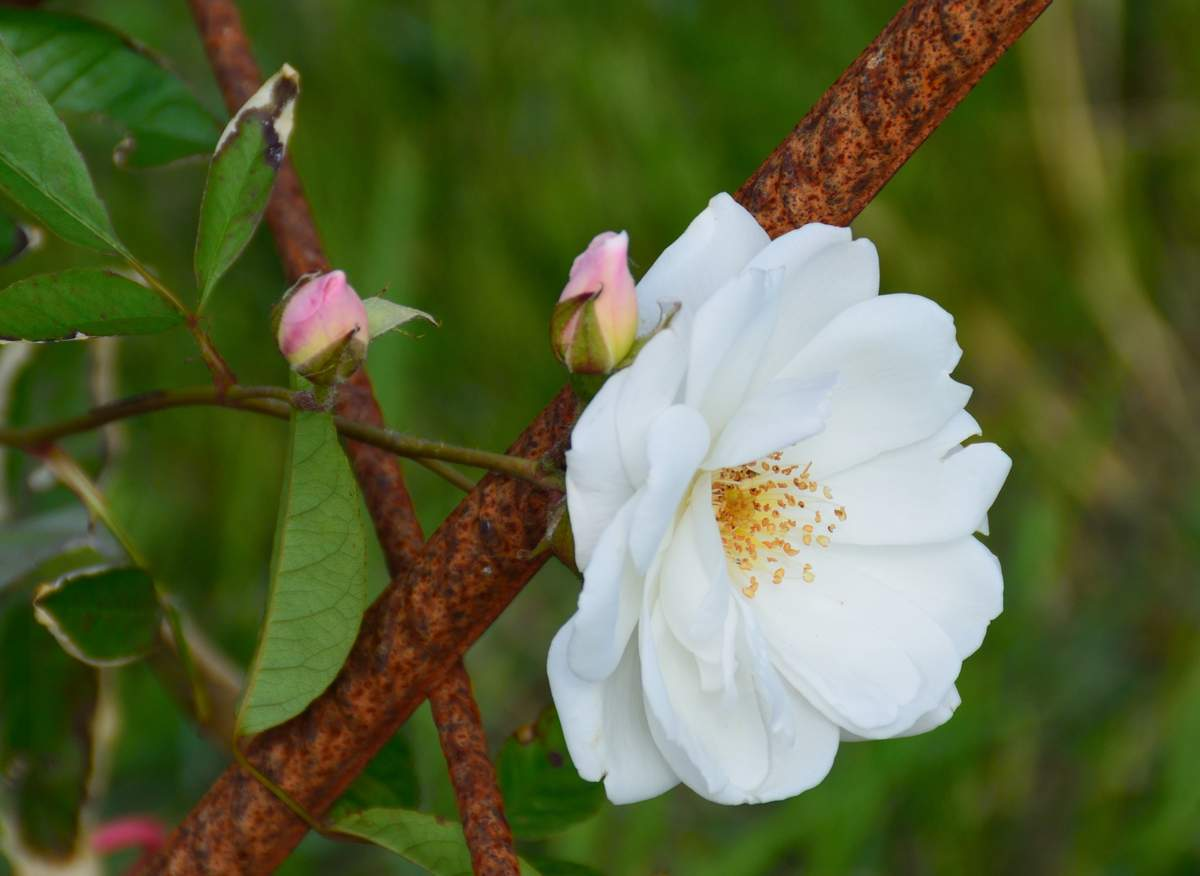 """ Snow Princess"" (Keith G. Laver (Canada, 1991). Floribunda%20%27Climbing%20Snow%20Princess%27%202015%2005"