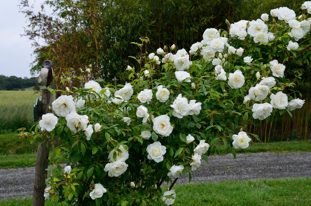 """ Snow Princess"" (Keith G. Laver (Canada, 1991). Floribunda%20%27Climbing%20Snow%20Princess%27%202019%2005"