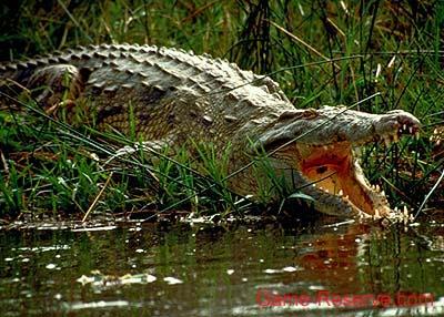 افترااااااس ... Crocodile_jaws_da