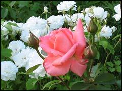 Все о розах Rosi015