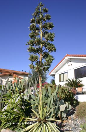 VƯỜN CÂY HOA ĐV I - Page 14 Agave-angustifolia1