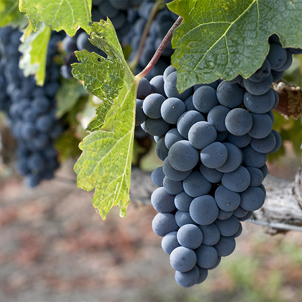 10 Reasons You Should Be Growing Grapes in Your Backyard 1-grapes