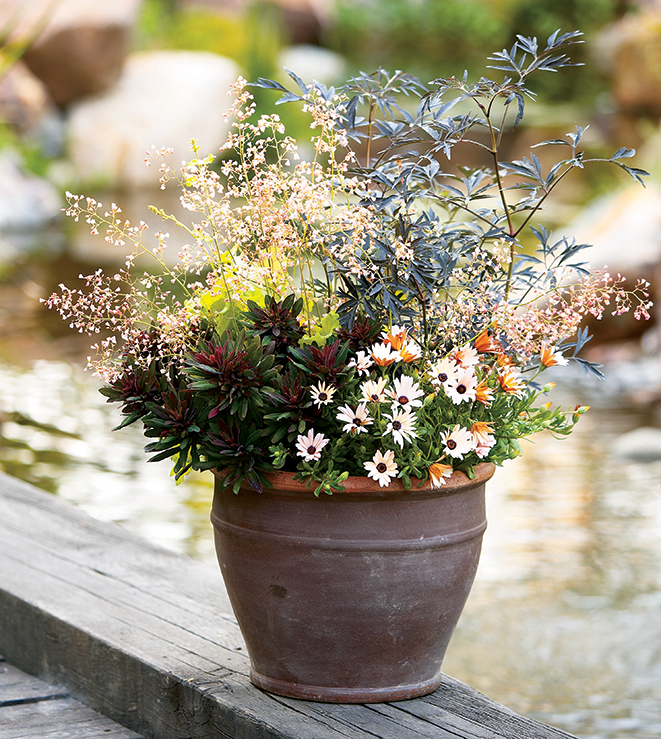 Can I Grow Shrubs In Containers? SMN-PWBlackLace